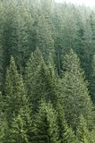 Green coniferous forest with old spruce, fir and pine trees Stock Photos