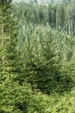 Green coniferous forest with old spruce, fir and pine trees Royalty Free Stock Images