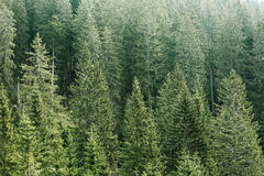 Green coniferous forest with old spruce, fir and pine trees Royalty Free Stock Photography