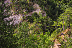 Green coniferous forests in the mountains. In summer Royalty Free Stock Image