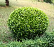 Green coniferous shrubs shorn. By round shape Stock Photography