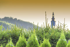 Green coniferous trees at sunset Stock Image