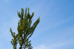 Green coniferous treetop with blue sky. Background Stock Image
