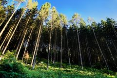 Green coniferous wood. With foliage and blue sky Stock Image
