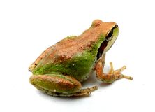 Green and Copper Froggy Stock Photography