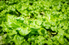 Green-coral lettuce. Under sunlight Royalty Free Stock Images