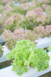 Green coral and red coral plants on hydrophonic farm Stock Image