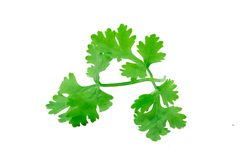 Green coriander leaves isolation on a white background. royalty free stock photography