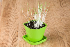 In green coriander plant Flowerpot Stock Images