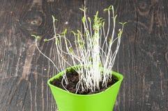 In green coriander plant Flowerpot Stock Photo