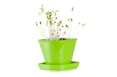 In green coriander plant Flowerpot Royalty Free Stock Images