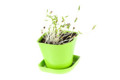 In green coriander plant Flowerpot Stock Photos