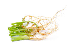 Green coriander root put on  white background Royalty Free Stock Photos