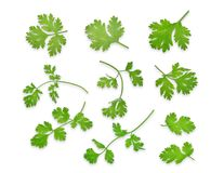 Green coriandrum sativum leaves isolated on white background. Flat lay, top view stock image