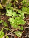 Green coriandrum sativum plants in nature garden. Fresh green coriandrum sativum plants in nature garden stock image