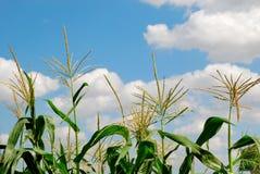 Green corn Royalty Free Stock Photo