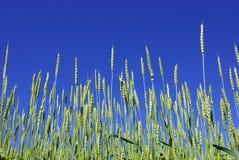 Green corn Stock Photos