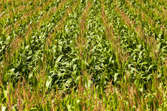 Green corn Stock Images