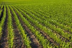 Green corn Stock Image