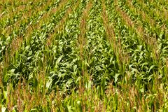 Green corn Royalty Free Stock Images