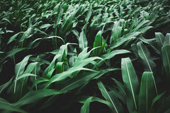 Green corn background Royalty Free Stock Image