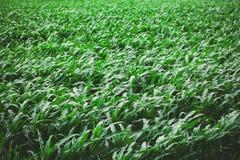 Green corn background Stock Image