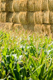 Green corn and bale Royalty Free Stock Image
