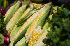 Green corn cobs in the row Royalty Free Stock Photo