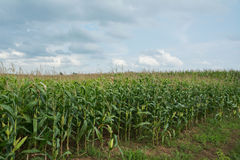 Green corn farm. With cloud sky Stock Photography
