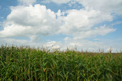 Green corn farm. With cloud sky Stock Image