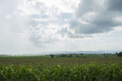 Green corn farm. With cloud sky Royalty Free Stock Photos