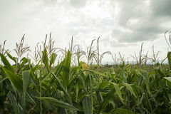 Green corn farm. With cloud sky Royalty Free Stock Image