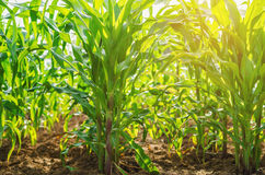 Green corn on farm And refreshingly natural with Royalty Free Stock Photo