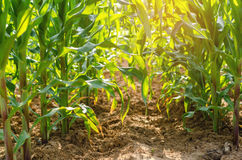 Green corn on farm And refreshingly natural with Royalty Free Stock Photography