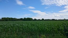 Green Corn Field Stock Photography