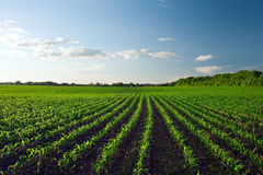 Green corn field Royalty Free Stock Photo