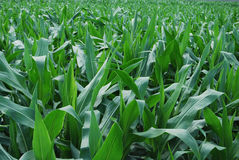 Green corn field Royalty Free Stock Images