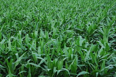 Green corn field Royalty Free Stock Photos