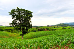Green corn field. With a big tree Stock Photos