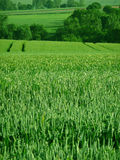 Green corn field. In spring with tractor wheels traces Stock Photos