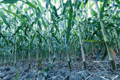 Green corn field. Royalty Free Stock Image
