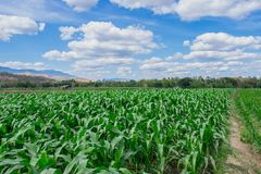 Green corn field in agricultural garden with  with blue sky background Royalty Free Stock Photo