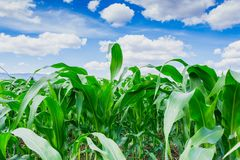Green corn field in agricultural garden with  with blue sky background Stock Photos