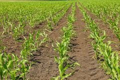 Green corn field as background, space for text. Agriculture royalty free stock image