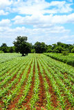 Green corn field and blue sky Stock Images