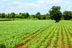 Green corn field and blue sky Royalty Free Stock Photo