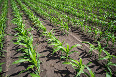 Green corn field Stock Images