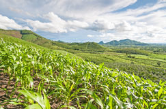 Green corn field. With blue sky Stock Image