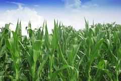 Green corn field Royalty Free Stock Image