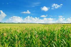 Green corn field and blue sky. stock images